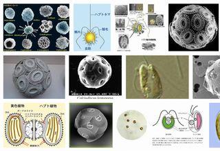 Haptophyte
