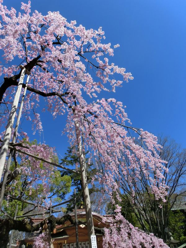 Sidarezakura04
