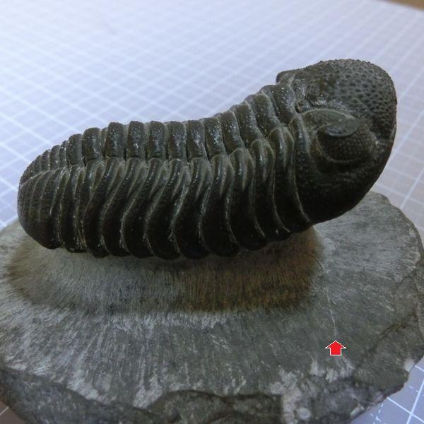 Trilobite_fossile_2a