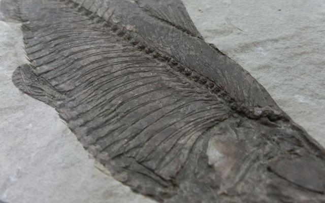 Herring_fossil_2
