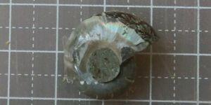 Ammonaite02