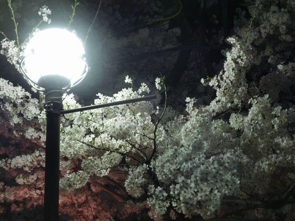 Sakura150331c