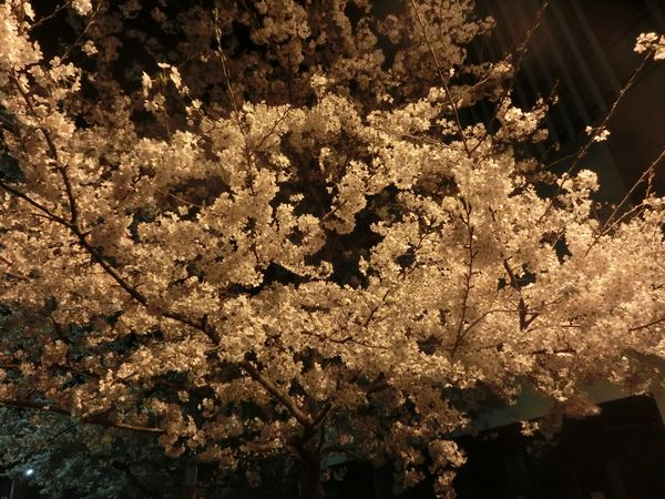 Sakura150331e
