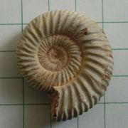 ammonite_mineralfair2015c