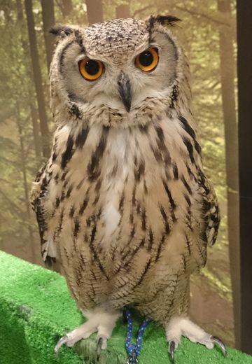 Turkmenian_eagle_owl_01