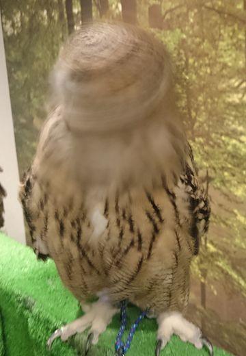 Turkmenian_eagle_owl_02