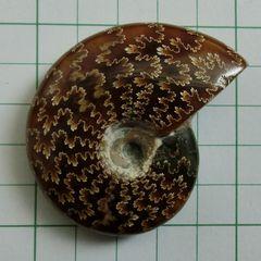 Ammonaite2