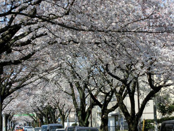 Sakuratamareiensando