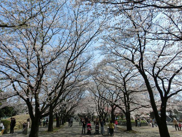 Sakurafuchunomori