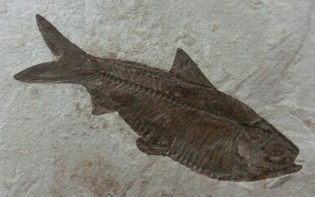 Herring_fossil_1