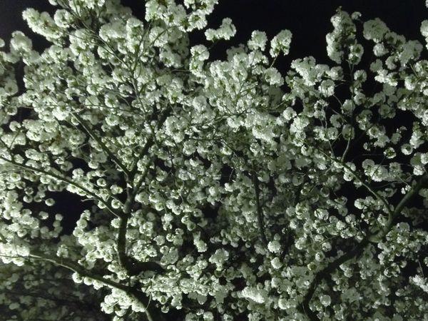 Sakura130328a