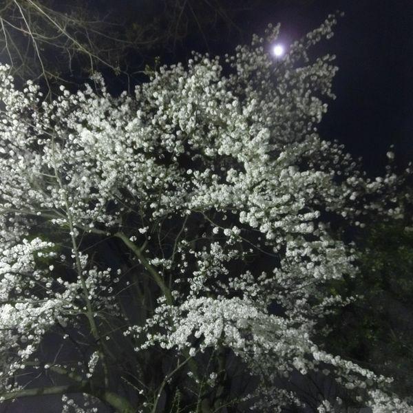 Sakura150331d