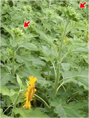 Sunflower2016a2
