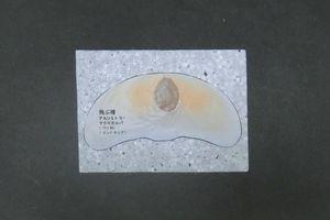 Styrolpaperalsomitra02