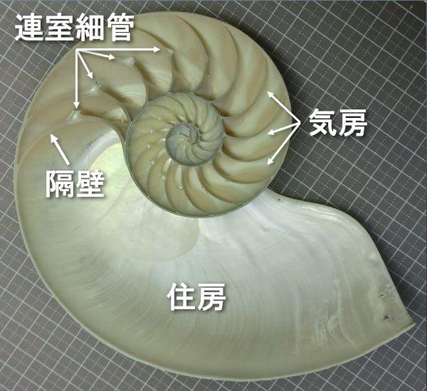 Nautilusshell
